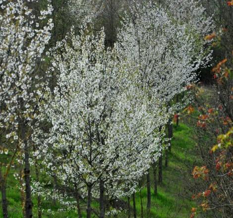 Filari di ciliegi in fiore