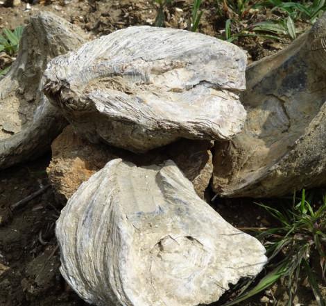 fossili del terreno Podere Cellori
