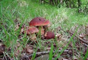 funghi nei boschi
