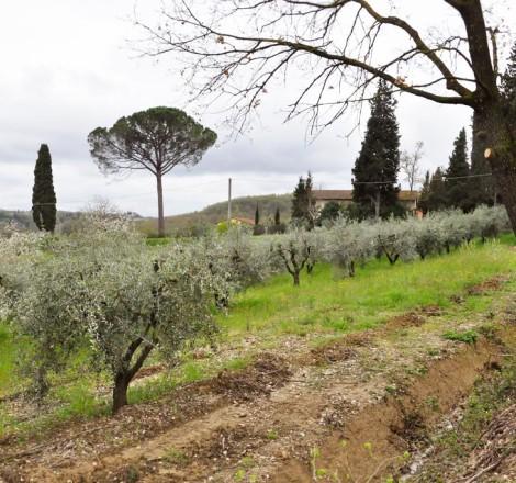 oliveto di Poggio ai Cieli