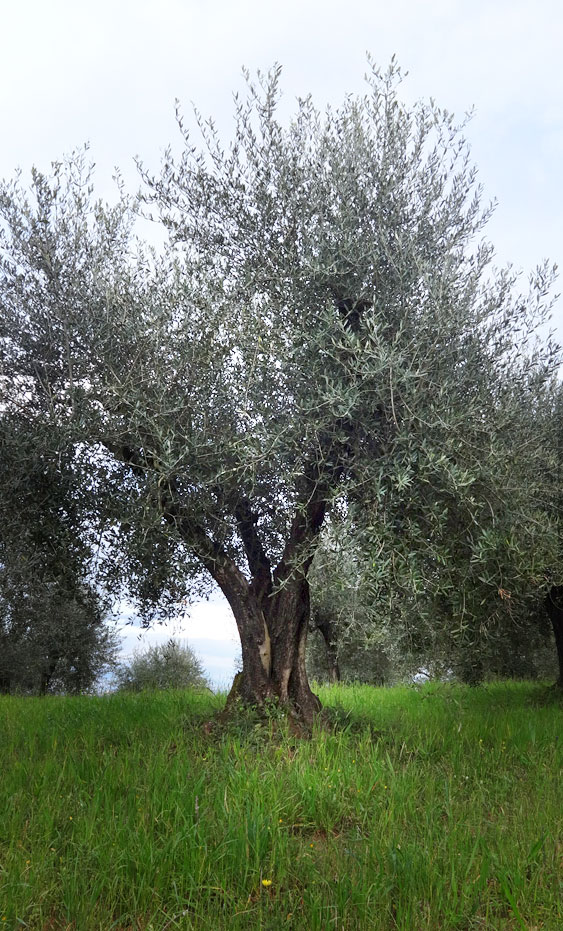 olive tree on Podere Casa Lucii