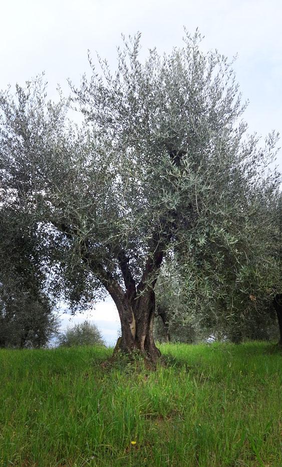 Podere Casa Lucii Olivenbaum